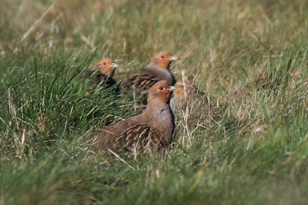 Grey Partridge by Andy Tew - Jan 17th, Toyd Down