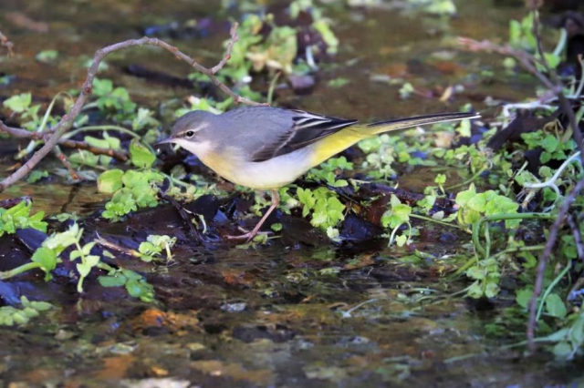 Grey Wagtail by Brian Cartwright - Jan 9th, Anton Lakes