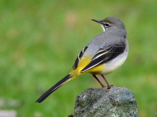 Grey Wagtail by Dave Levy - Dec 22nd, Basingstoke
