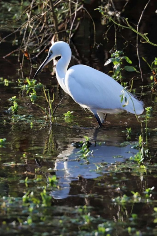 Little Egret by Brian Cartwright - Jan 1st, Anton Lakes