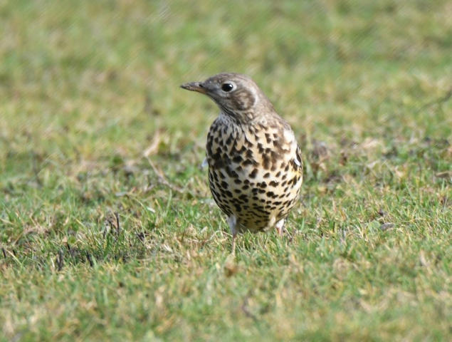Mistle Thrush by Dave Levy - Jan 18th, Basingstoke