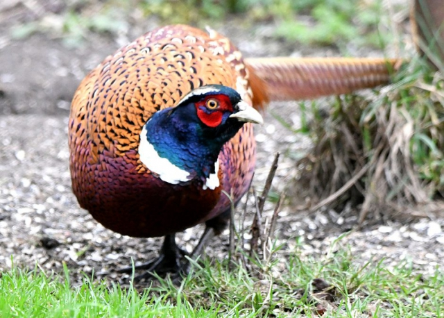 Pheasant by Dave Levy - Jan 3rd, Titchfield Haven