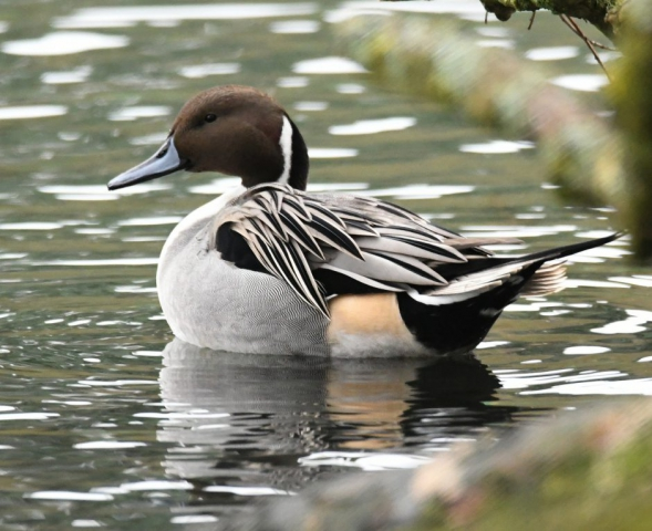 Pintail by Dave Levy - Jan 25th, The Vyne