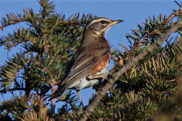 Redwing by Andy Tew - Jan 17th, Toyd Down