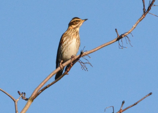 Redwing by Dave Levy - Jan 12th, Old Down