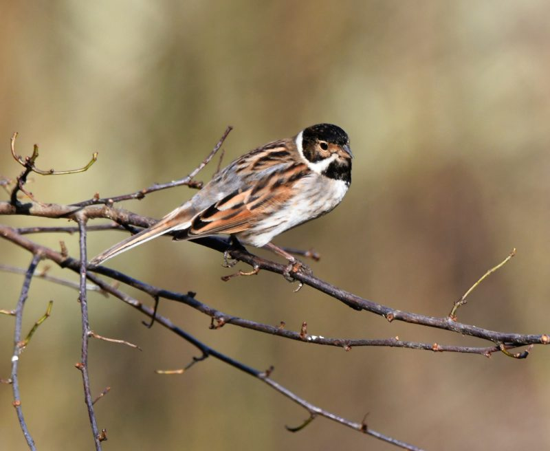 Reed Bunting by Dave Levy - Jan 9th, Blashford Lakes