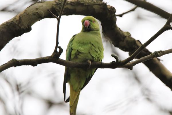 Ring-necked Parakeet by Andy Tew - Jan 24th, Southampton