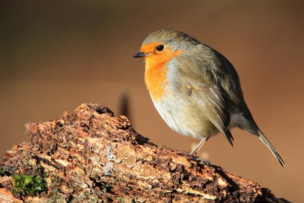 Robin by Andy Tew - Dec 20th, Denny Wood