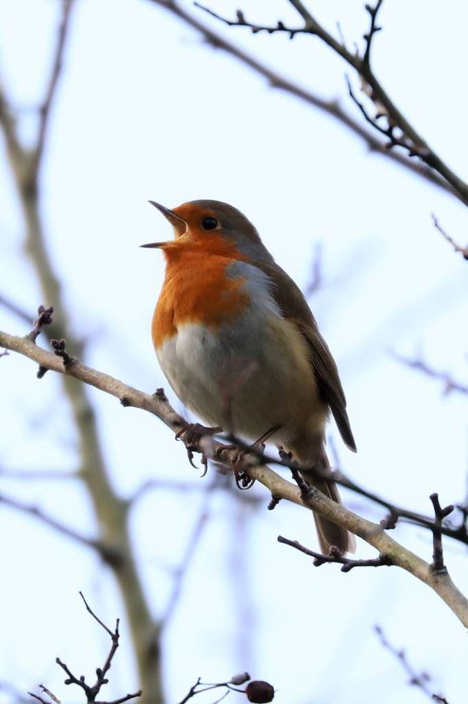 Robin by Brian Cartwright - Jan 14th, Anton Lakes