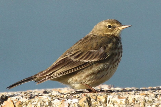 Rock Pipit by Bob Marchant - Jan 8th, Hook-with-Warsash