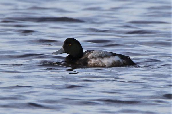 Scaup by Andy Tew - Jan 8th, Keyhaven