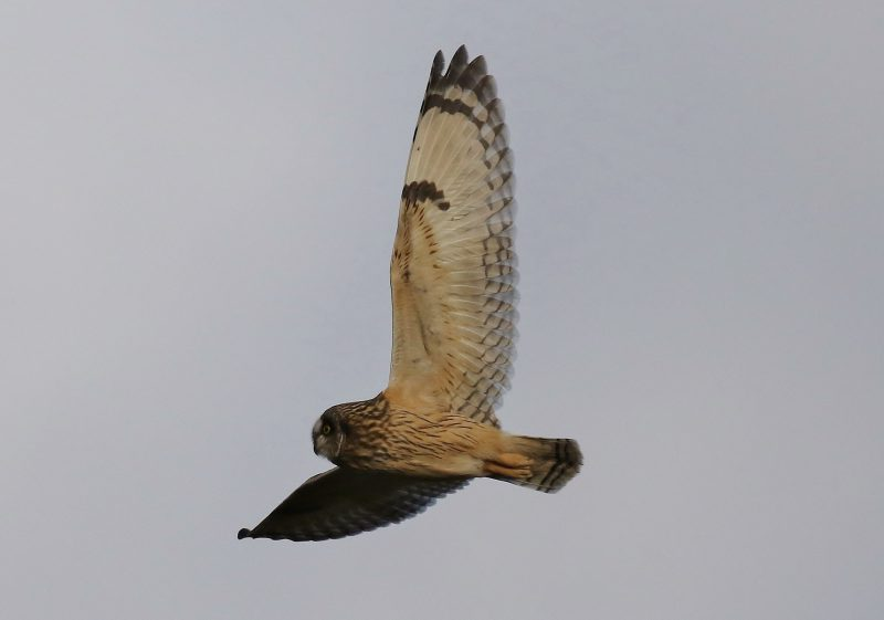Short-eared Owl by Terry Jenvey - Jan, Hampshire