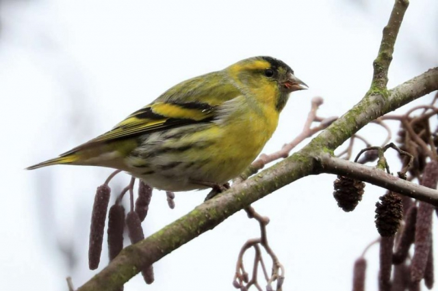 Siskin by Brian Cartwright - Jan 24th, Anton Lake