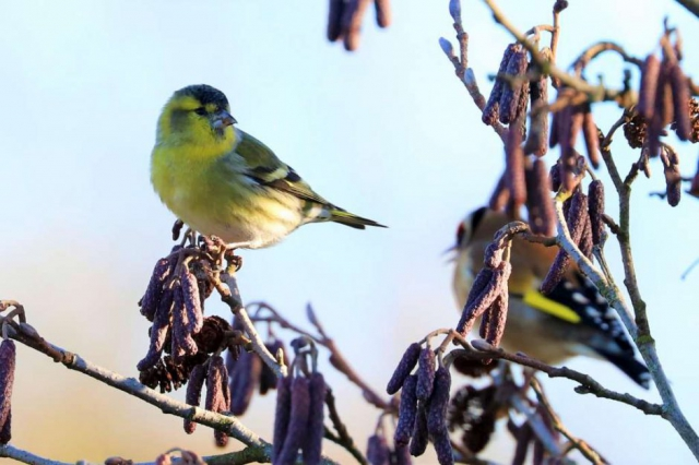 Siskin by Brian Cartwright - Jan 9th, Anton Lakes