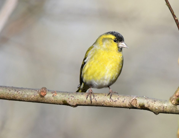 Siskin by Dave Levy - Jan 9th, Blashford Lakes