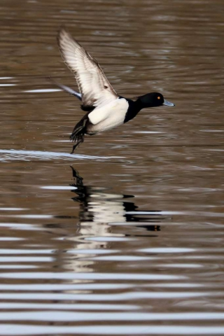 Tufted Duck by Brian Cartwright - Dec 27th, Anton Lakes