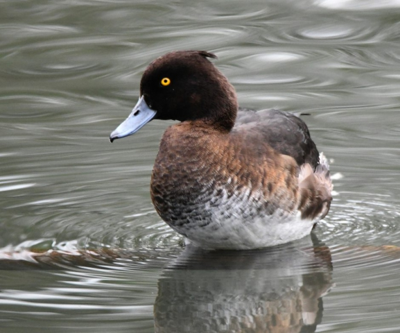 Tufted Duck by Dave Levy - Jan 25th, The Vyne