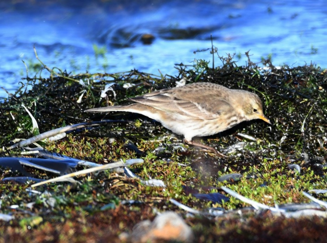 Water Pipit by Dave Levy - Jan 9th, Blashford Lakes