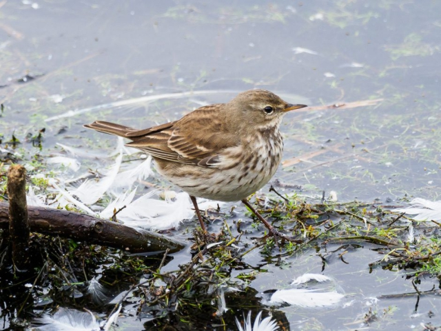 Water Pipit by Gareth Rees - Jan 2nd, Blashford Lakes