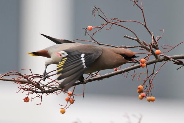 Waxwing by Any Tew - Jan 3rd, Totton