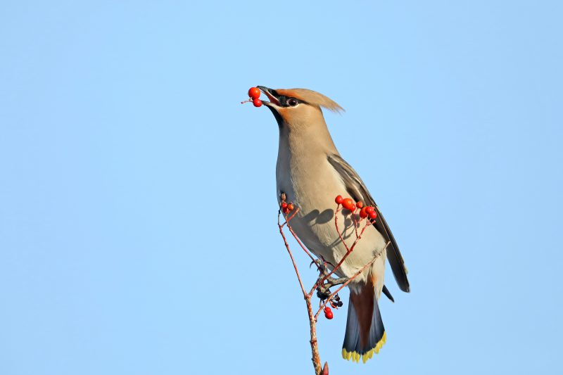 Waxwing by Richard Jacobs - Jan 4th, Totton