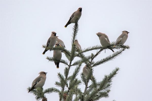 Waxwings by Any Tew - Jan 3rd, Totton