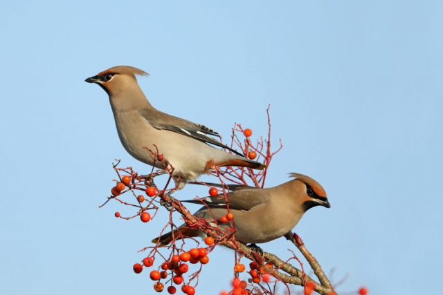 Waxwings by Richard Jacobs - Jan 4th, Totton