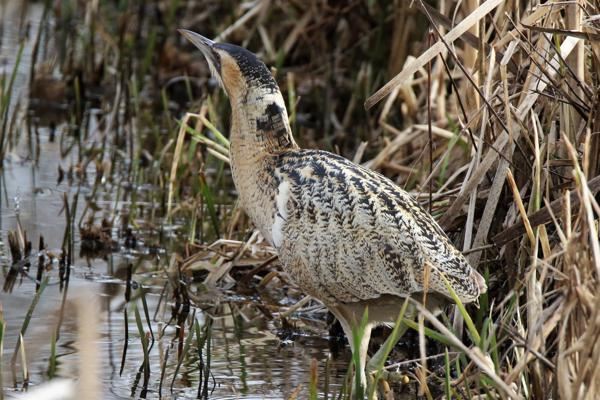 Bittern by Andy Tew - Feb 6th, Blashford Lakes