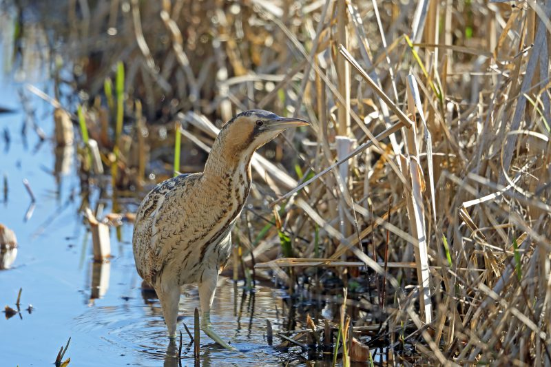 Bittern by Richard Jacobs - Feb 25th, Blashford Lakes