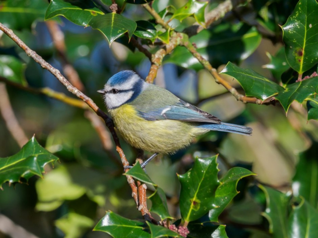 Blue Tit by Gareth Rees - Jan 28th, Cadman's Pool