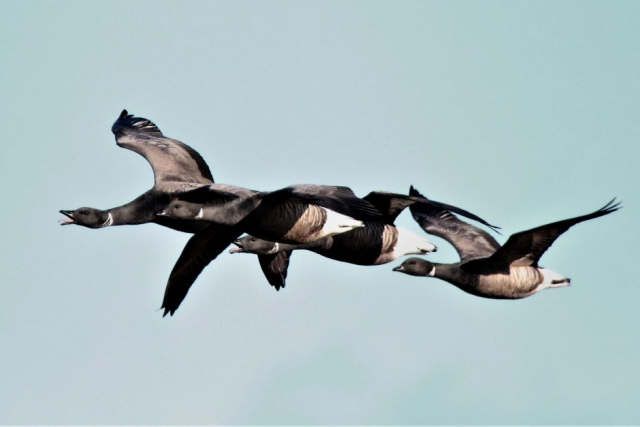 Brent Goose by Andy Tew - Jan 30th, Pennington