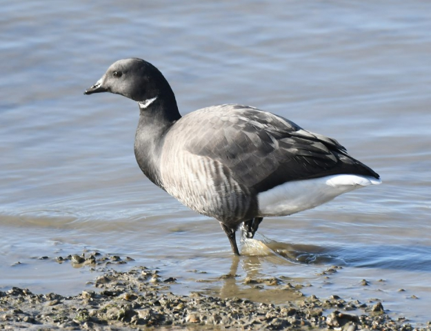 Brent Goose by Dave Levy - Feb 14th, Warsash