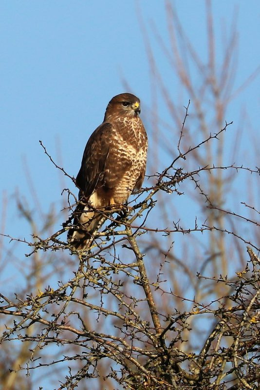 Buzzard by Brian Catwright - Feb 27th, Anton Lakes