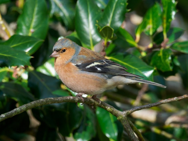 Chaffinch by Gareth Rees - Jan 28th, Cadman's Pool