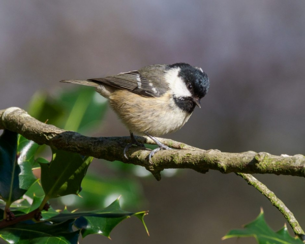 Coal Tit by Gareth Rees - Jan 28th, Cadman's Pool