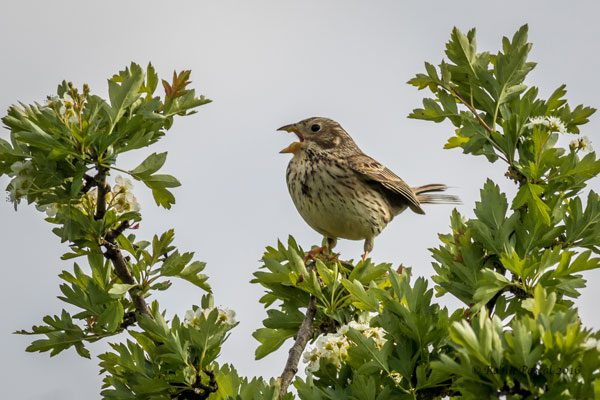 Corn Bunting by Robin Pascal, Martin Down