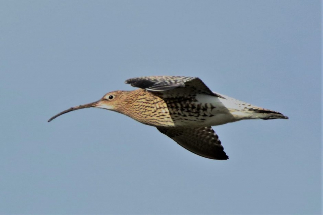 Curlew by Andy Tew - Feb 7th, Pennington