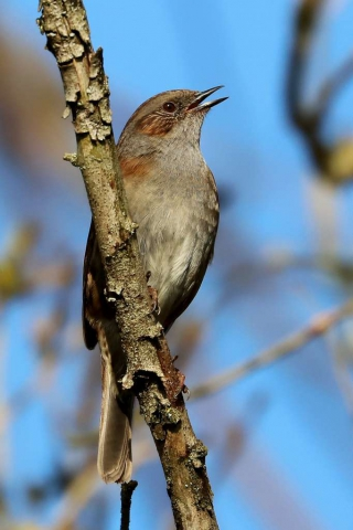 Dunnock by Brian Catwright - Feb 27th, Anton Lakes