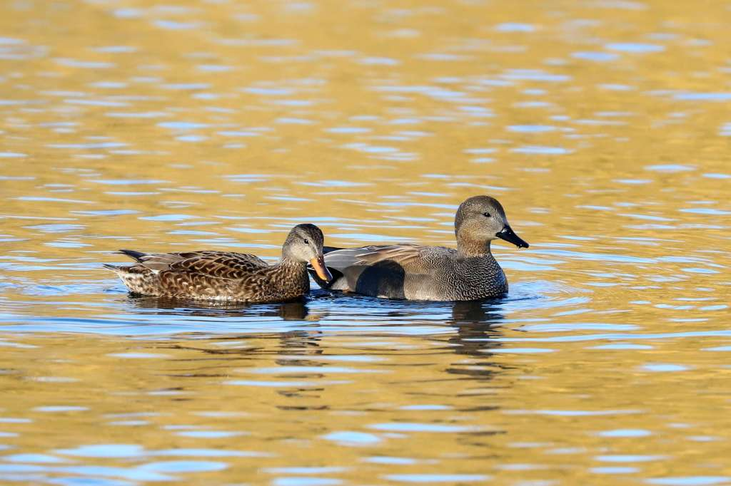 Gadwall by Brian Catwright - Feb 15th, Anton Lakes
