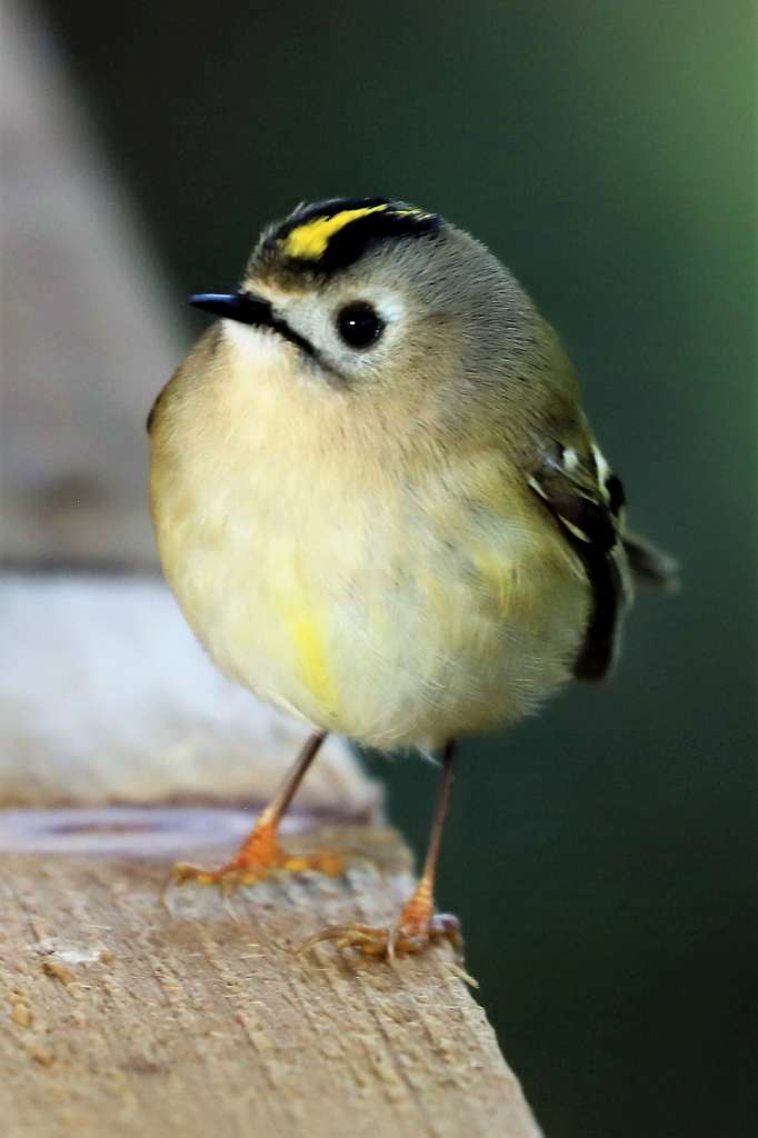 Goldcrest by Brian Cartwright - Feb 7th, Anton Lakes