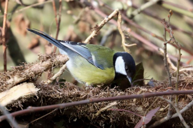 Great Tit by Brain Cartwright - Jan 28th, Anton Lake
