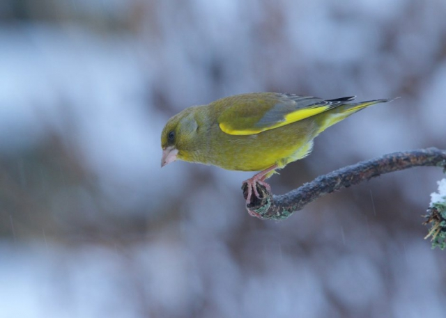 Greenfinch by Martin Bennett - Feb 1st, Furze Hill