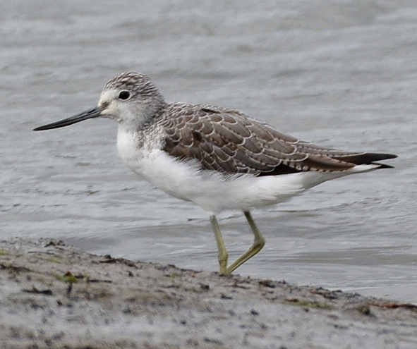 Greenshank by Dave Levy - Feb 14th, Warsash