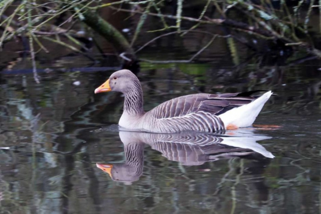 Greylag by Brain Cartwright - Jan 29th, Anton Lake