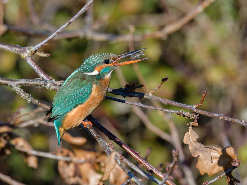 Kingfisher by Gareth Rees - Jan 23rd, Keyhaven