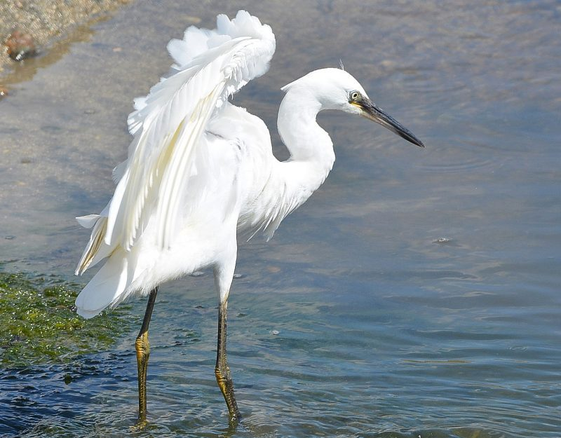 Little Egret by Dave Levy - Feb 14th, Warsash