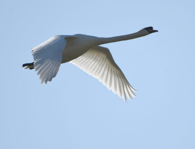 Mute Swan by Dave Levy - Feb 24th, Overton