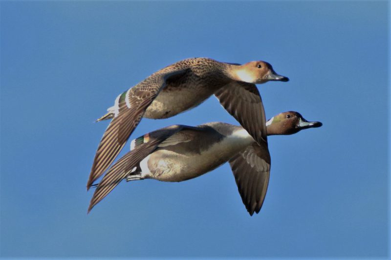 Pintail by Andy Tew - Jan 30th, Pennington