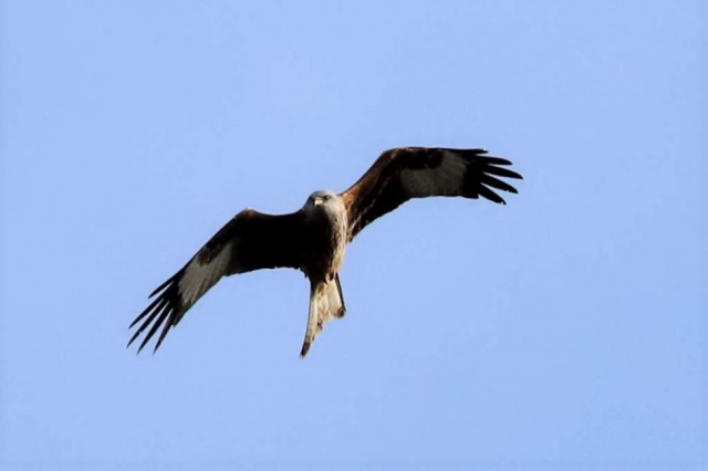 Red Kite by Brian Cartwright - Feb 9th, Anton Lakes