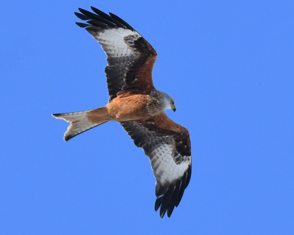 Red Kite by Dave Levy - Feb 2nd, Basingstoke